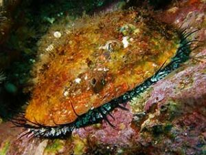 Pink Abalone. Photo copyright Tom Reamy